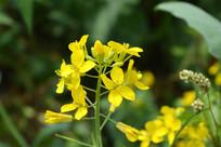 油菜花花朵