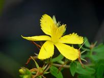 黄色的贯叶连翘花朵
