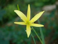 盛开的黄花菜花朵