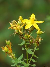 藤黄科植物贯叶连翘