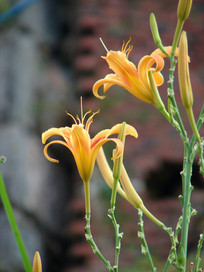鲜艳夺目的黄花菜花朵