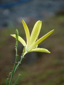 一朵黄花菜花朵