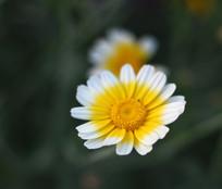 黄白相间的茼蒿花微距摄影