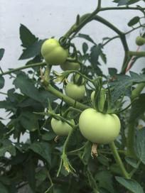 硕果累累的西红柿