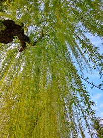 杨柳依依 万条垂下绿丝绦