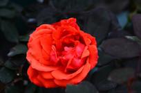 暗背景拍摄红玫瑰
