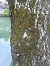 长满青苔的桦树干