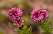 粉粉的菊花