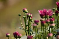 粉色的菊花花蕾