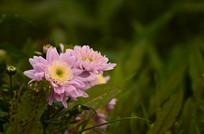 粉色的路边菊花