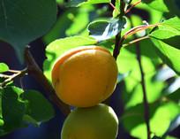 刚成熟的杏子