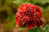 红色的小球花
