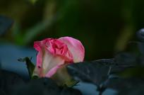 玫瑰花花骨朵图片