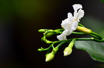 美丽的小白花图片