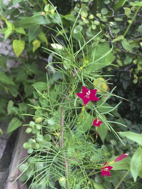 盛开的五角星花