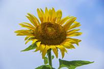 向日葵花朵