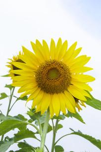 向阳向日葵