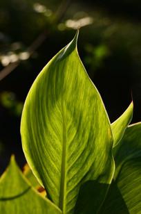 阳光下的大绿叶