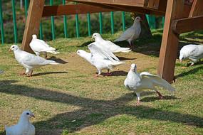 一群散步的鸽子