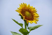 一株盛放向日葵