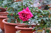 月季花盆栽