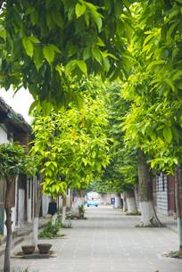 阆中古城老街绿树
