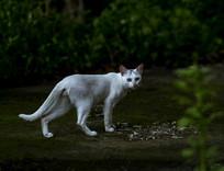 室外的白色野猫