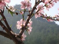 桃花开放摄影