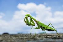 阴险的螳螂