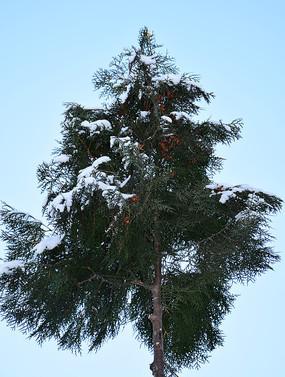 柏树枝上的薄雪