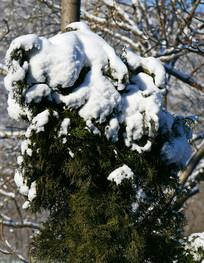 顶着积雪的柏树