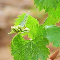 葡萄树微距摄影