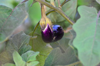 茄子农作物图片