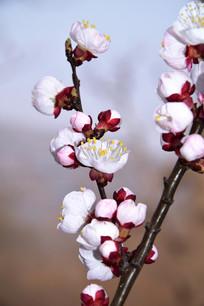 盛开的杏花