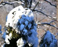 压弯柏树的积雪