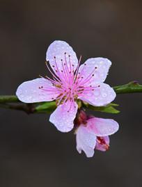 雨后的桃花