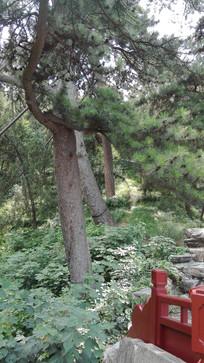 苍劲有力的松树