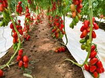 成串诱人的西红柿圣女果