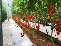 大棚种植西红柿圣女果