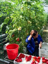 丰收的大棚西红柿
