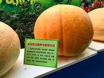 巨型南瓜营养价值与食用方法