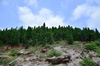 山岭上的松柏树