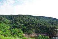 山岭上的松树林
