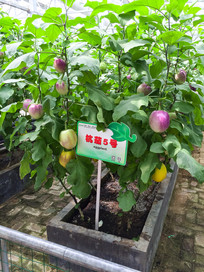寿光蔬菜技术博览会杭茄5号