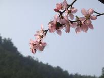 桃花近景图