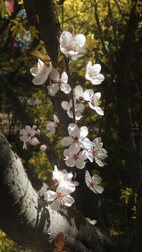 一束光下的樱花
