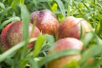 草上的桃子