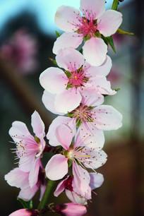 春季桃花开景观
