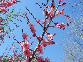 粉色梅花高清图片
