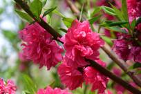 观赏桃花摄影